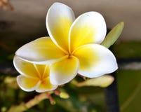 White plumeria flowers. With bud Stock Image