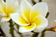 Plumeria flowers. White plumeria flowers in detail Stock Images