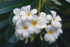 White plumeria flowers Royalty Free Stock Images