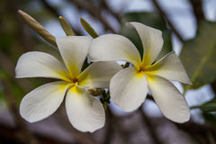 White Plumeria Flowers. Frangipani, exotic flowers Stock Images