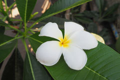 White Plumeria Flowers on green leaf. Royalty Free Stock Photos