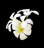White Plumeria flowers isolated Royalty Free Stock Images