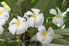 White plumeria flowers and leaf on nature immagini stock libere da diritti