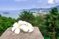 White plumeria flowers are with a panoramic view of Thailand. Frangipani close-up. Two beautiful white flowers. royalty free stock photo