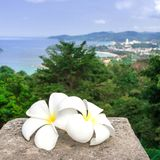 White plumeria flowers are with a panoramic view of Thailand. Frangipani close-up. Two beautiful white flowers. royalty free stock photography