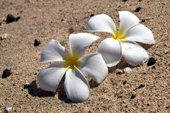 White plumeria flowers on sand beach. Big Island, Hawaii Stock Image