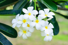 White Plumeria flowers on tree Royalty Free Stock Image