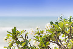 White Plumeria flowers tree on the beach. Royalty Free Stock Image