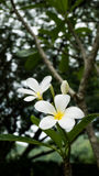 White plumeria flowers on tree stock photos