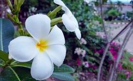 White plumeria flowers on a tree royalty free stock photo