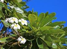 White plumeria flowers on tree Stock Image