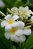 White plumeria flowers with water drops Royalty Free Stock Images