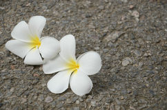 White Plumeria folwer Royalty Free Stock Photography