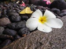 White Plumeria or franginpani flower with rain droplets on black. White Plumeria or frangipani flower with rain droplets on black cobblestones, Bali Indonesia Royalty Free Stock Photo