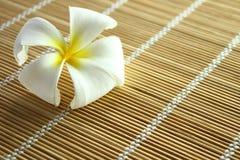 White Plumeria (frangipani) Royalty Free Stock Photography
