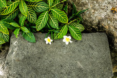 White Plumeria frangipani flower on floor. White Plumeria frangipani flower on concrete background Stock Image