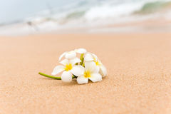 White Plumeria (frangipani) flower on sunny beach sand. Tropical relaxing vacation and spa background. Soft focus Stock Photography