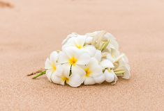 PreviewWhite Plumeria frangipani flower on sunny beach sand. White Plumeria frangipani flower on sunny beach sand. Tropical relaxing vacation and spa background Royalty Free Stock Photos