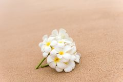 PreviewWhite Plumeria frangipani flower on sunny beach sand. White Plumeria frangipani flower on sunny beach sand. Tropical relaxing vacation and spa background Royalty Free Stock Photo