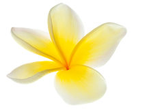 White Plumeria Frangipani Flower Tropical Flowers Royalty Free Stock Images