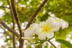 White Plumeria or frangipani flowers Stock Images