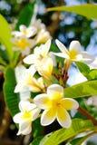 White Plumeria or frangipani. Sweet scent from white Plumeria flowers in the garden. Closeup frangipani. stock image