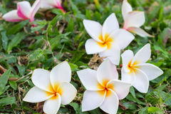 The white plumeria. In grass fall stock images