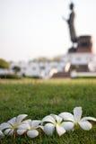 White plumeria. On grass field Royalty Free Stock Photos