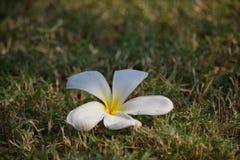 White plumeria. On grass walkway Stock Photo
