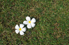 White plumeria on grassy field Stock Image