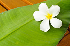 A white plumeria on green leaf Stock Image