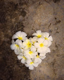 White plumeria heart shape Royalty Free Stock Photo