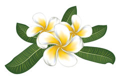 White plumeria with leaves Royalty Free Stock Image