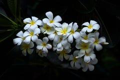 White  Plumeria in the nature Royalty Free Stock Photos