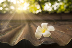 White Plumeria on old zinc roof. In morning sunlight Stock Photography