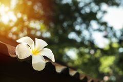 White Plumeria on old zinc roof. In morning sunlight Royalty Free Stock Photos