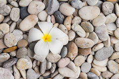 White plumeria on pebble Royalty Free Stock Photography