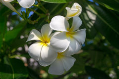 White plumeria. Plumeria flowers. White plumeria on the plumeria Royalty Free Stock Photography