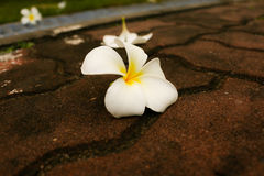 White Plumeria (Plumeria sp.) Stock Photo