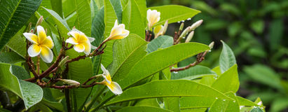 White Plumeria on the rain Stock Photos