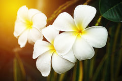 White plumeria with raindrop Stock Image