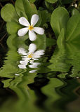 White Plumeria Reflections. A hawaiian white plumeria flower reflected in still waters Royalty Free Stock Image