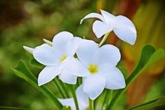 White plumeria rubra Stock Photo