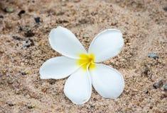 White plumeria on sand Royalty Free Stock Photography