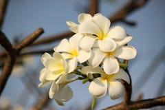 White plumeria. On sky background Royalty Free Stock Photography