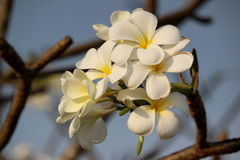 White plumeria. On sky background stock image