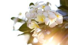 White plumeria. On sky background Stock Images