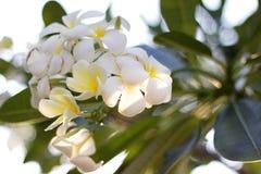 White plumeria. On sky background Stock Photography