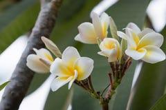 White plumeria soft focus Stock Image