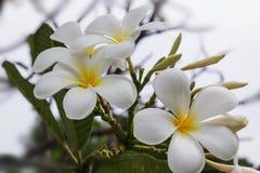 White plumeria Stock Photography